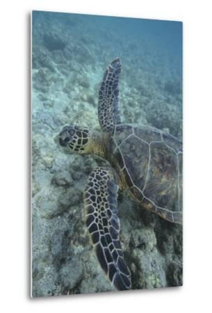 Green Sea Turtle Swimming-DLILLC-Metal Print