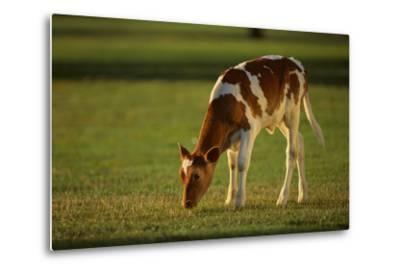 Grazing Holstein-Jersey Mix Calf-DLILLC-Metal Print
