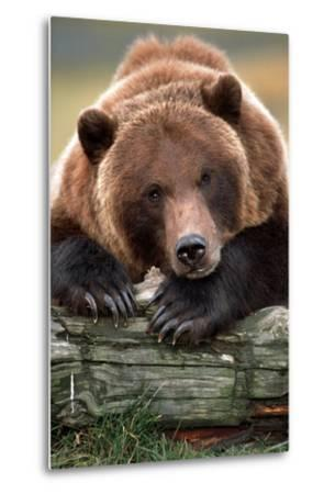 Brown Bear Rests with it Front Legs Outstrenched on a Log, Alaska Wildlife Conservation Center-Design Pics Inc-Metal Print