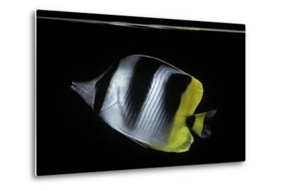 Chaetodon Ulietensis (Pacific Double-Saddle Butterflyfish)-Paul Starosta-Metal Print