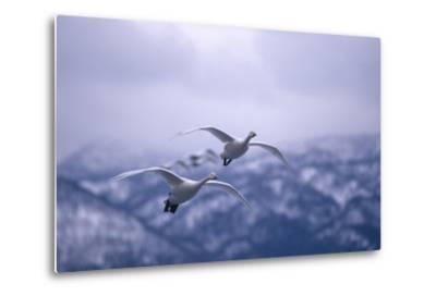 Whooper Swans Flying-DLILLC-Metal Print