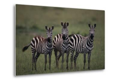 Zebras-DLILLC-Metal Print