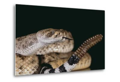 Western Diamondback Rattlesnake-DLILLC-Metal Print
