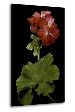 Pelargonium X Hortorum 'Corinne' (Common Geranium, Garden Geranium, Zonal Geranium)-Paul Starosta-Metal Print