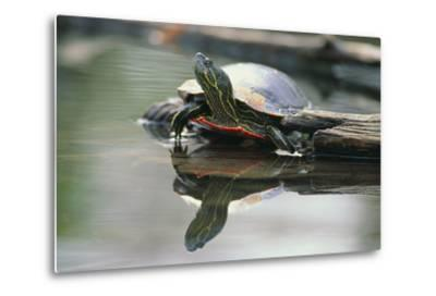 Western Painted Turtle Reflected in Pond Water-DLILLC-Metal Print