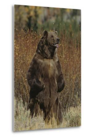 Grizzly Bear Standing in Meadow-DLILLC-Metal Print