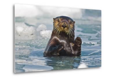 A Sea Otter Swimming Amongst Sea Ice in Harriman Fjord, Prince William Sound, Southcentral Alaska-Design Pics Inc-Metal Print