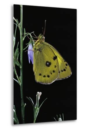 Colias Australis (Berger's Clouded Yellow Butterfly)-Paul Starosta-Metal Print