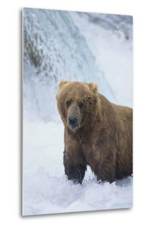 Brown Bear Standing in River-DLILLC-Metal Print