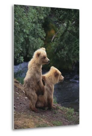 Brown Bear Cubs-DLILLC-Metal Print