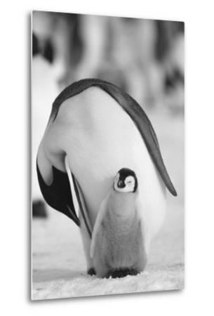 Adult Penguin with Chick-DLILLC-Metal Print
