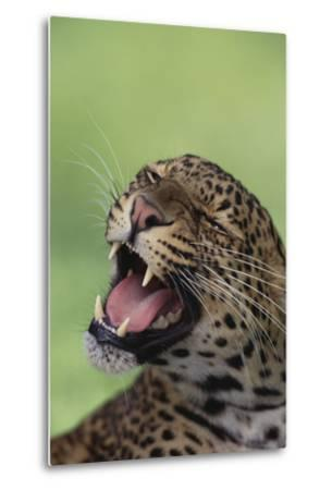 Leopard-DLILLC-Metal Print