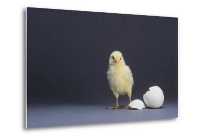 Leghorn Chick-DLILLC-Metal Print