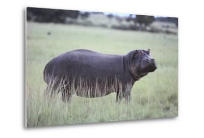 Hippopotamus in the Savanna Grass-DLILLC-Metal Print