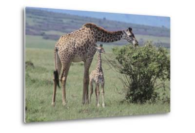 Parent and Young Giraffe-DLILLC-Metal Print