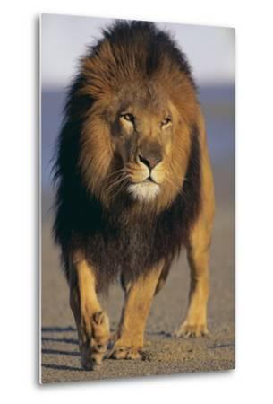 Lion Walking on Sand-DLILLC-Metal Print