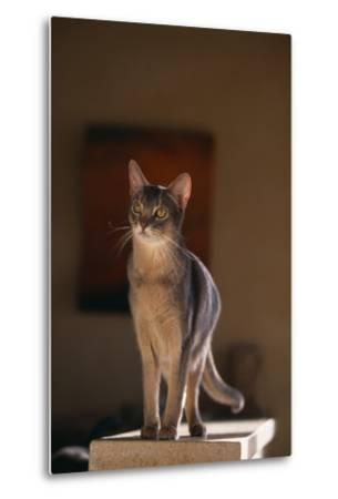 Abyssinian Blue Cat on Pedestal-DLILLC-Metal Print