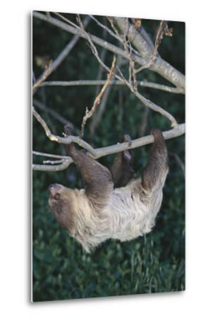 Two-Toed Tree Sloth Hanging from Tree-DLILLC-Metal Print