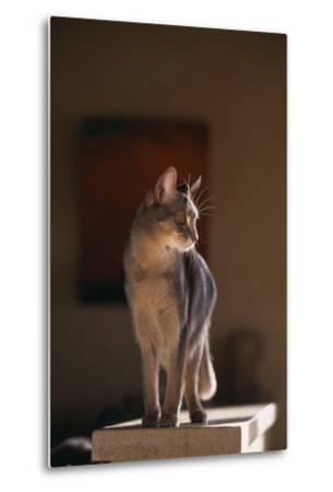 Abyssinian Blue Cat on Pedestal-DLILLC-Metal Print