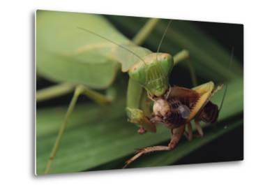 African Praying Mantis Eating a Bug-DLILLC-Metal Print