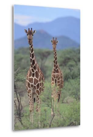 Two Giraffes Walking through the Bush-DLILLC-Metal Print