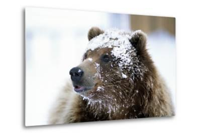 Grizzly Bear Standing with Face Covered-Design Pics Inc-Metal Print
