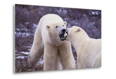 Polar Bears Fighting-DLILLC-Metal Print