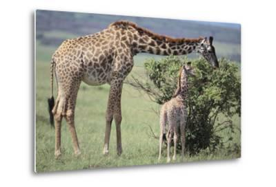 Giraffe and Young Eating a Bush-DLILLC-Metal Print