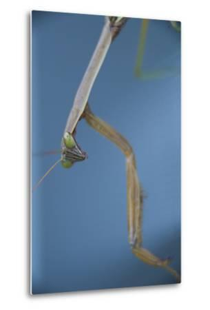 A Praying Mantis-Michael Melford-Metal Print