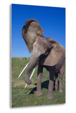 African Elephant Wagging Ears-DLILLC-Metal Print