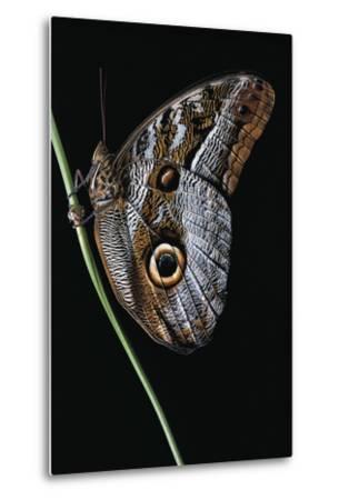 Caligo Idomeneus (Owl Butterfly)-Paul Starosta-Metal Print