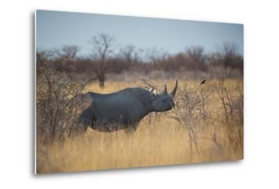 A Black Rhinoceros, Diceros Bicornis, Feeds Off a Spiny Acacia Bush at Sunset-Alex Saberi-Metal Print
