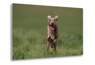 Excited Weimaraner Running in Field-DLILLC-Metal Print