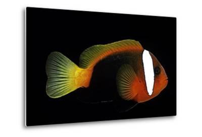 Amphiprion Melanopus (Fire Clownfish, Black Anemonefish, Red and Black Anemonefish, Cinnamon Clownf-Paul Starosta-Metal Print