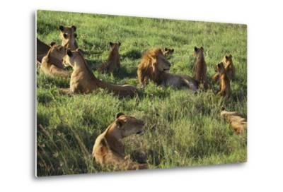 Pride of Lions Lying in Grass-DLILLC-Metal Print