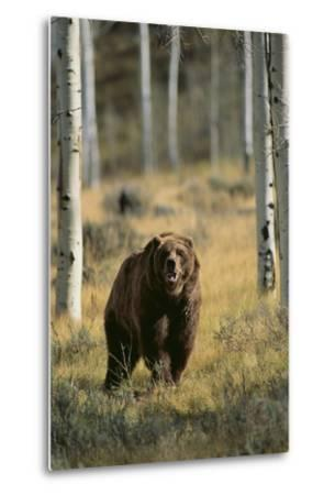 Grizzly Walking among Trees-DLILLC-Metal Print