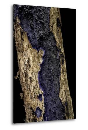 Terana Caerulea (Cobalt Crust, Velvet Blue Spread)-Paul Starosta-Metal Print