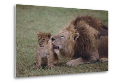 Adult Lion Cleaning Cub-DLILLC-Metal Print