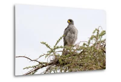 An Eastern Chanting Goshawk, Melierax Poliopterus, Perching in a Tree-Sergio Pitamitz-Metal Print