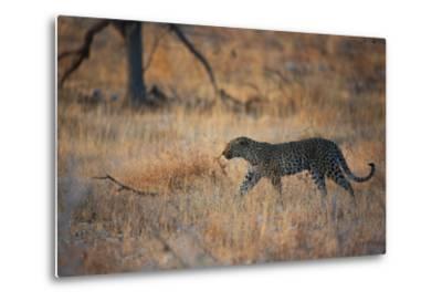 A Leopard, Panthera Pardus Pardus, Walks Through Grassland Aglow in the Setting Sun-Alex Saberi-Metal Print