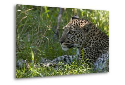 Portrait of a Young Leopard, Panthera Pardus, Resting in the Shade-Sergio Pitamitz-Metal Print
