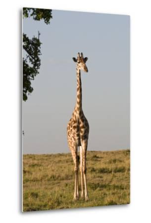 Portrait of a Female Maasai Giraffe, Giraffa Camelopardalis Tippelskirchi-Sergio Pitamitz-Metal Print