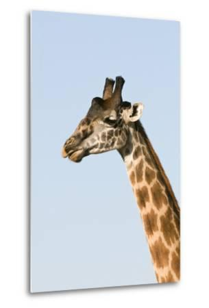 Portrait of a Male Maasai Giraffe, Giraffa Camelopardalis Tippelskirchi-Sergio Pitamitz-Metal Print