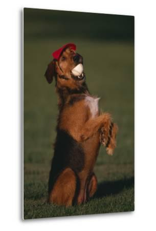 Airedale Terrier with Baseball in Mouth-DLILLC-Metal Print