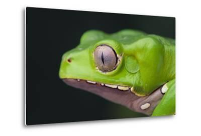 Monkey Tree Frog-DLILLC-Metal Print