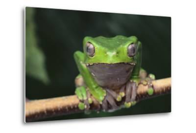 Monkey Tree Frog Perched on a Branch-DLILLC-Metal Print