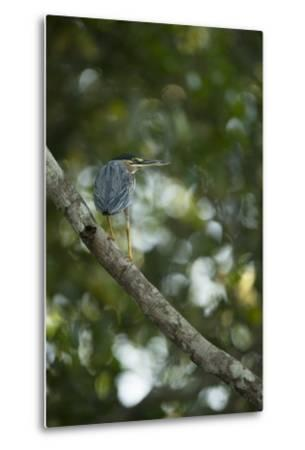 Striated Heron-Joe McDonald-Metal Print