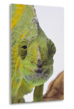 Meller's Chameleon-DLILLC-Metal Print