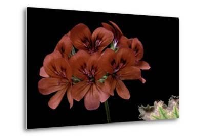 Pelargonium X Unique 'Aurore Unique' (Unique Geranium)-Paul Starosta-Metal Print