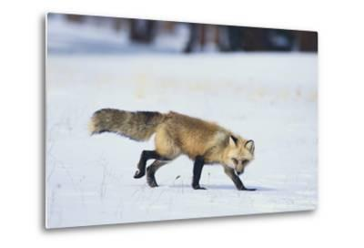 Red Fox-DLILLC-Metal Print